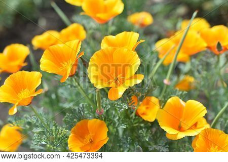 Escholzia Californica Red And Yellow Flowers Close-up