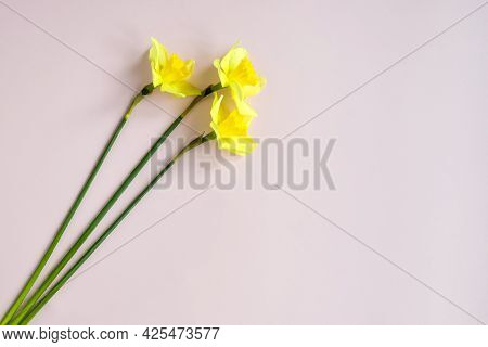 Three Fresh Yellow Daffodils On Pink Background, Bouquet Of Spring Flowers. Top View. Close-up. Copy