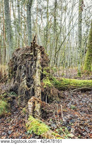 A Massive Overgrown Root Of A Fallen Old Tree, Overgrown With Moss