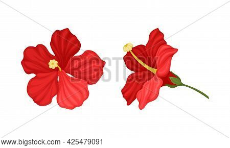 Hibiscus Red Tropical Flower With Large Petals Vector Set