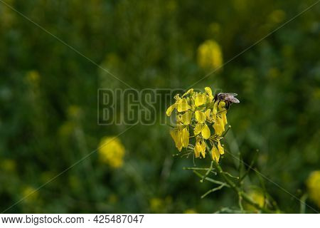 The Honey Bee Sits On The Yellow Flower, Pollinates It And Collects Nectar. Beautiful Nature Summer