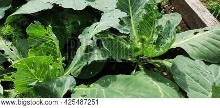 Fresh Head Of Cabbage Nibbled By Caterpillars, Agricultural Field.