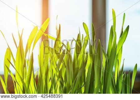 Fresh Sprouted Oat Stalks Against Window In A Room On A Sunny Day. Potted Green Grass For Indoor Cat