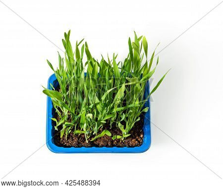 Potted Green Grass For Indoor Cats Isolated On White Background. Fresh Organic Oat Sprouts Grows In