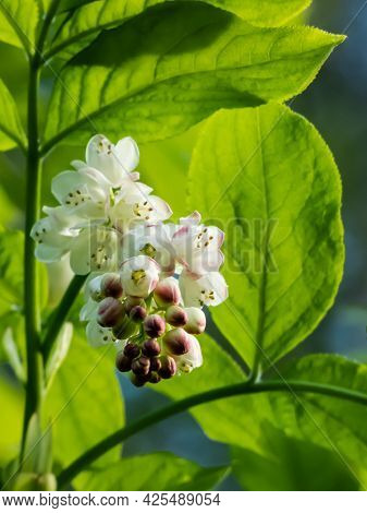 Close Up Shot Of Small, White, Bell-shaped, Fragrant Buds And Flowers Of The European Bladdernut (st