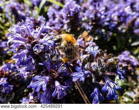 Beautiful Purple Floral Background. Macro Shot Of Ground Cover Pyramidal Bugle (ajuga Pyramidalis) '