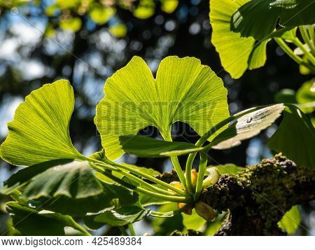 Beautiful Macro Of Detailed, Green Fan-shaped Leaves With Veins Radiating Out Into The Leaf Blade Of