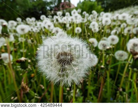 Close-up Of White Seeded Dandelion Plant Head Composed Of Pappus (dandelion Seeds) In The Meadow Sur