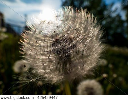 Dandelion. Close-up Of White Seeded Dandelion Plant Head Composed Of Pappus (dandelion Seeds) In The