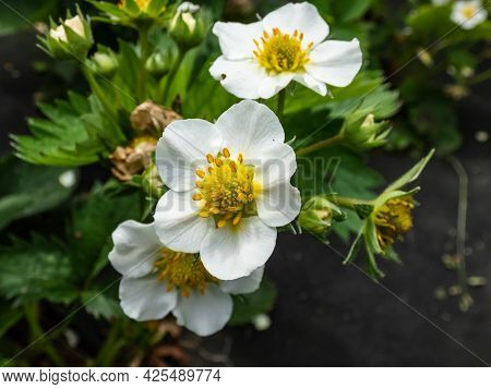 Macro Of Strawberry Flowers With Detailed Varying Length Stamens (androecium) Arranged In A Circle A