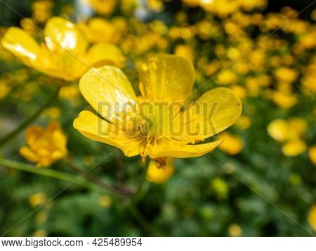 Macro Of Golden Yellow Flower Of Woolly Buttercup (ranunculus Lanuginosus) With Five Glossy Petals A