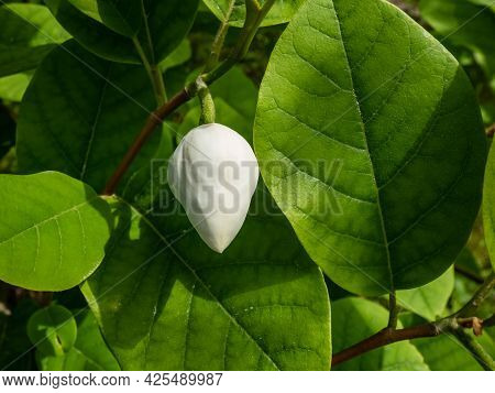 Macro Shot Of Flower Bud Of Siebold's Magnolia Or Korean Mountain Magnolia And Oyama Magnolia (magno