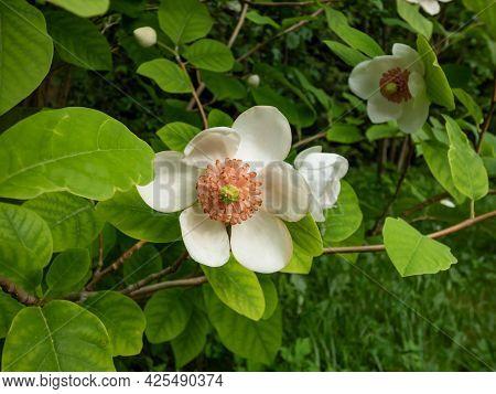 Macro Shot Of Cup Shaped Siebold's Magnolia Or Korean Mountain Magnolia And Oyama Magnolia (magnolia
