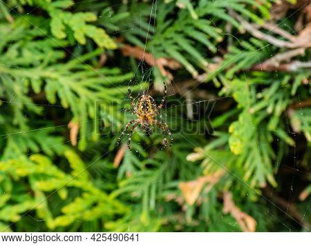 European Garden Spider, Cross Orb-weaver (araneus Diadematus) Hanging In The Web With Green Foliage