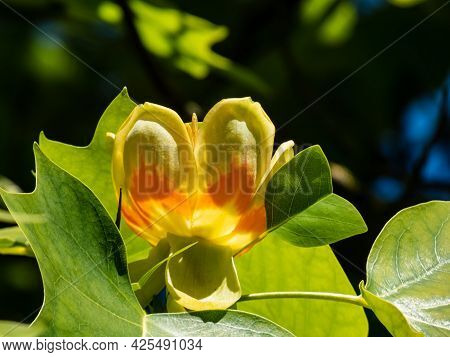 Flowering Tulip Tree (liriodendron Tulipifera). Pale Green And Yellow Flower With An Orange Band On
