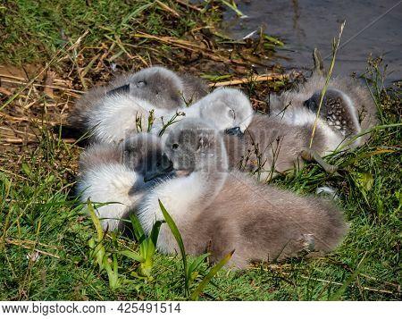 Group Of Beautiful, Fluffy Mute Swan Cygnets (cygnus Olor) Sleeping Together Near The Pond. Beautifu