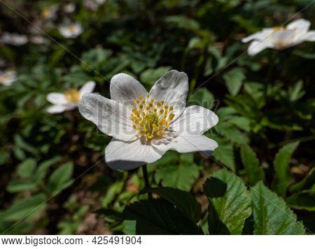Macro Of Single, White Flower Wood Anemone (anemone Nemorosa) Blooming In Spring In Bright Sunlight
