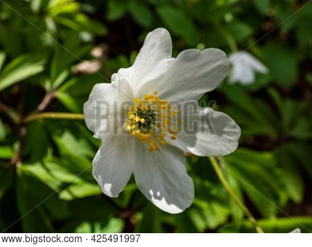 Single, White Flower Wood Anemone (anemone Nemorosa) Blooming In Spring In Bright Backlight With Blu