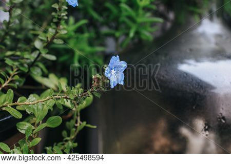Blue Flower Evolvulus Morning-glory Refraction In A Drop Of Water. Dreamy Beauty Of Nature For Prett