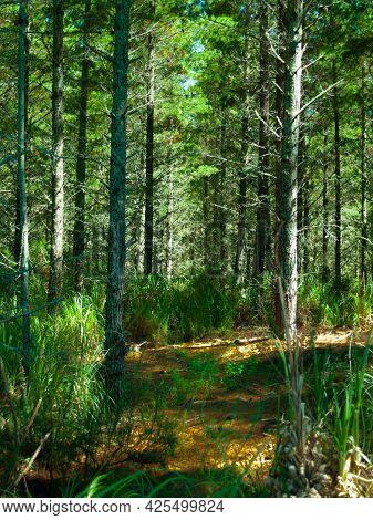 Plantation Renewable Pine Forestry On Matakana Island  Tauranga, New Zealand