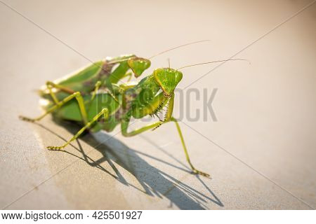 Mating Of A Pair Of Praying Mantises. Close Up Of Pair Of European Mantis Or Praying Mantis Copulati