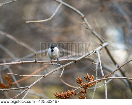 Cute Bird The Willow Tit, Song Bird Sitting On A Branch Without Leaves In The Autumn Or Winter. Will