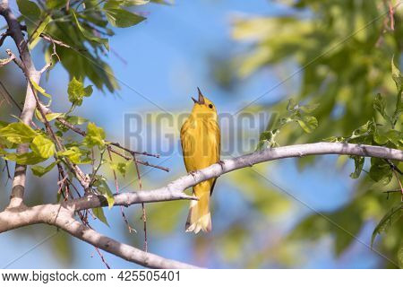 yellow warbler singing on a branch