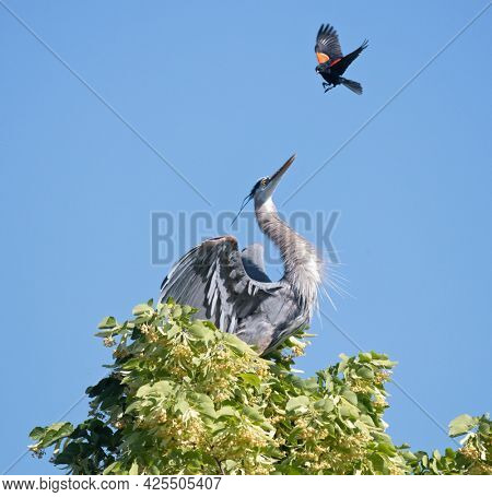great blue heron being harassed by a red winged blackbird