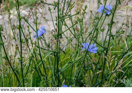Beautiful Wild Chicory Flower Blossom