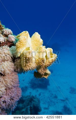 coral reef with great yellow soft coral at the bottom of red sea in egypt poster