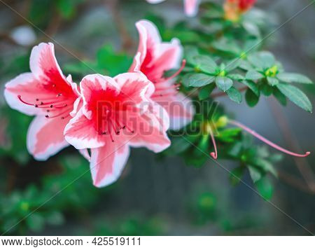 The Beautiful Spring Or Summer Background Of The Pink Azalea Flowers In Full Bloom With The Space Fo