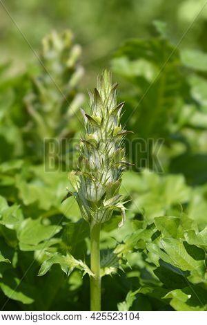Balkan Bears Breeches Flower Bud - Latin Name - Acanthus Hungaricus (acanthus Balcanicus)