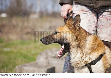 Beautiful Red-haired Dog. Big Fluffy Dog, Portrait, Head Close-up. Home Animal. Dog With Character L