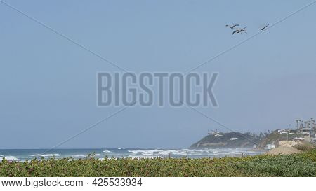 Big Brown Pelican Flying, Blue Sky Of Pacific Coast, Encinitas California Usa. Large Birds Soaring O