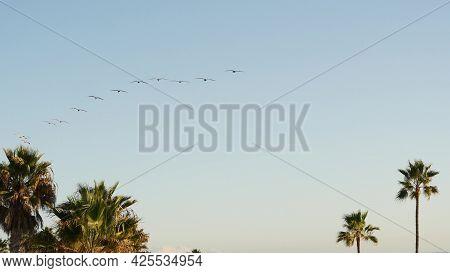 Big Pelican Birds Flying, Pelecanus Flock Soaring In Sky, Large Wingspan. Palm Tree In Oceanside, Ca