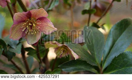 Helleborus Winter Rose Pink Flower In Forest, California Usa. Lenten Rose Floret Springtime Bloom, M