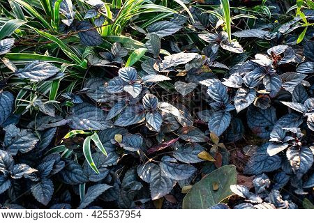 Stock Photo Of Beautiful Red Flame Ivy Plant Or Hemigraphis Colorata Evergreen Plant With Green Purp