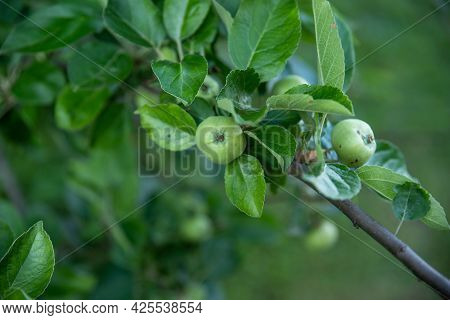 Beautiful Green Nature Image Of An Apple Branch With Lush Green Leaves And Green Ripening Fruit. Sel