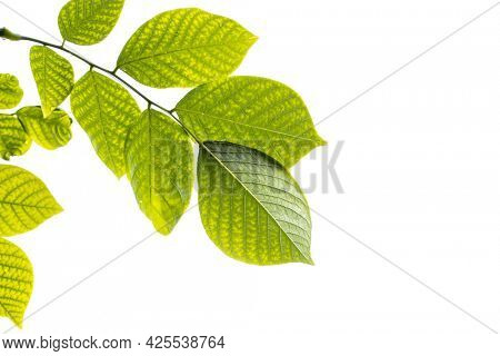 Close up shot of Beech tree leaves on white background