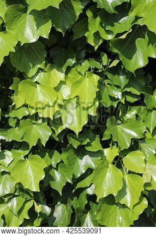 Background Of Many Green Illuminated Ivy Creeper Leaves