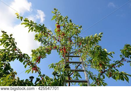 On An Aluminum Ladder In The Crown Of Cherries Reaps Red Fruits A Young Girl In Shorts From Jeans. S