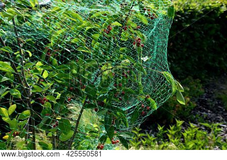 Protective Net If You Grow Canadian Blueberries Or Toadstools. Birds Like To Season Most Berries. St