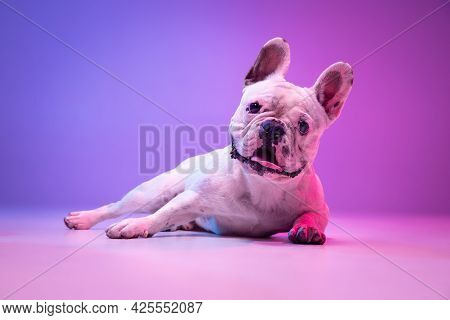 Portrait Of Cute Purebred Dog Bulldog Lying Down Isolated Over Studio Background In Neon Gradient Pi