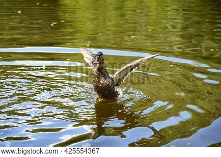 A Wild Duck Flaps Its Wings On The Water