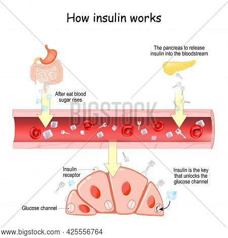 How Insulin Works. After Eat Blood Sugar Rises. After That The Pancreas To Release Insulin Into The