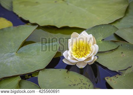Beautiful Image With White Water Lilies In The Danube Delta