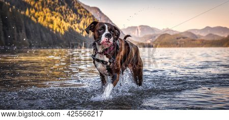 Playful And Funny Boxer Dog Swimming In The Water. Hot Sunny Summer Day. Alouette Lake In Maple Ridg