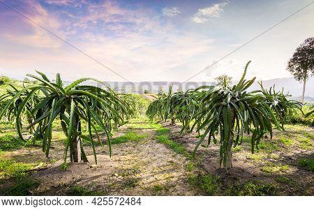 Dragon Fruit On Plant, Raw Pitaya Fruit On Tree, A Pitaya Or Pitahaya Is The Fruit Of Several Cactus