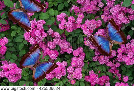 Bright Blue Morpho Butterflies On A Bush Of Blooming Pink Rose