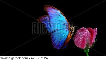 Bright Blue Tropical Morpho Butterfly On Pink Rose In Water Drops Isolated On Black.